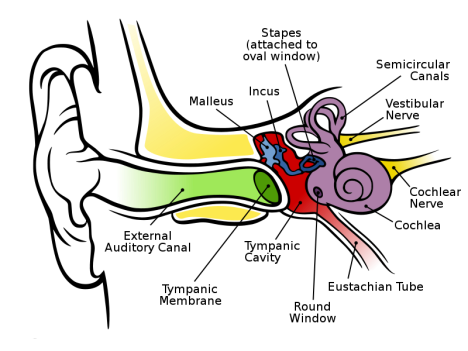 800px-Anatomy_of_the_Human_Ear.svg