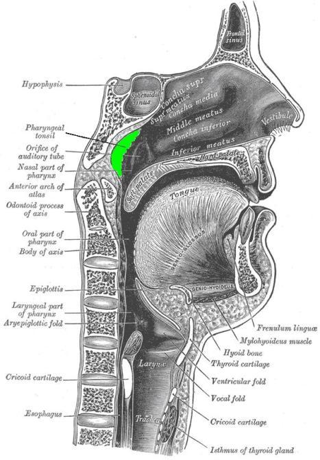 posisi adenoid